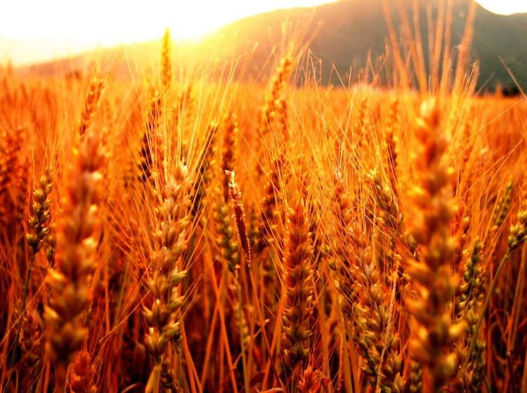 El trigo  es una amenaza para todos los humanos, según muestra una investigación