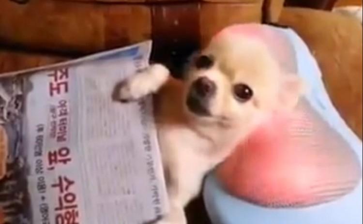 El sueño de un Chihuahua es hecho realidad
