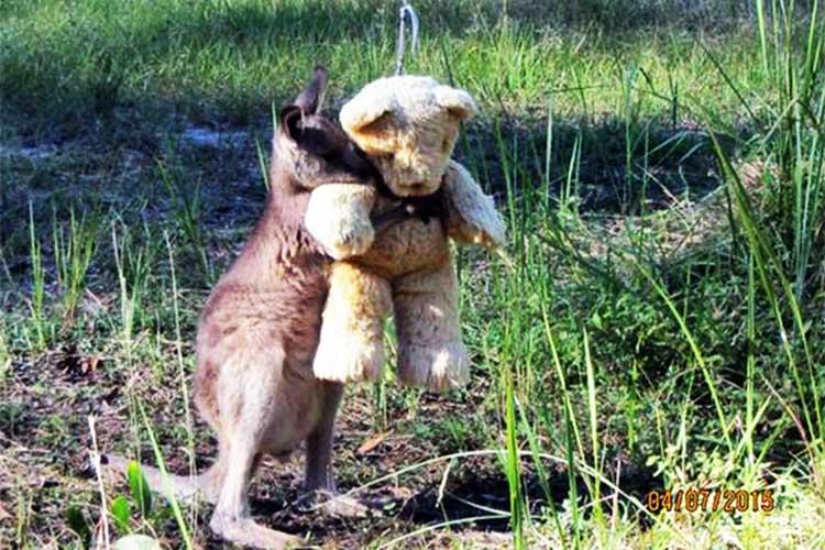 Adorable Canguro Huérfano abraza Osito de peluche