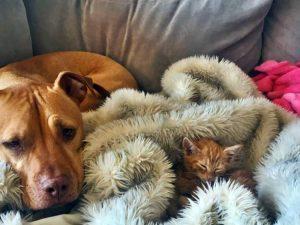 Un Pitbull cuida a un gatito