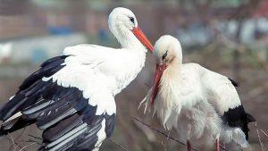 Cigüeña vuela 8000 km cada año para ver a su amada