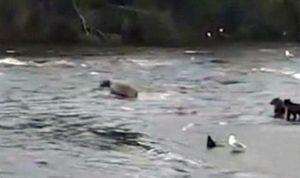 Mamá oso rescata a sus 3 crías caídas en un río