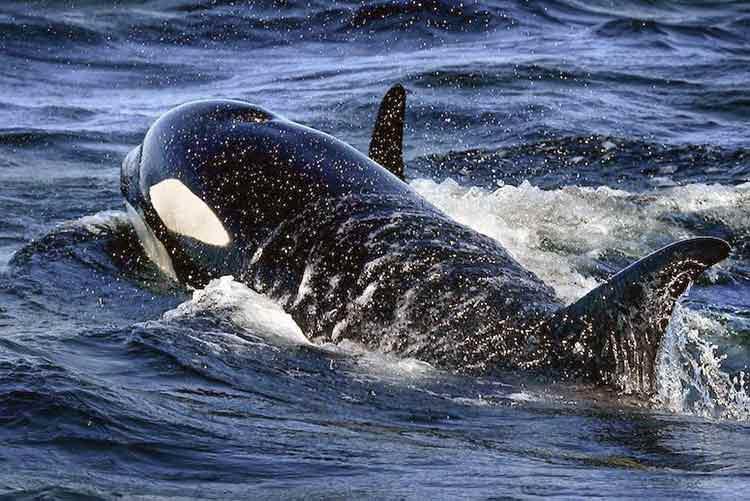 Dron captura imagen de Orca comiendo un tiburón vivo