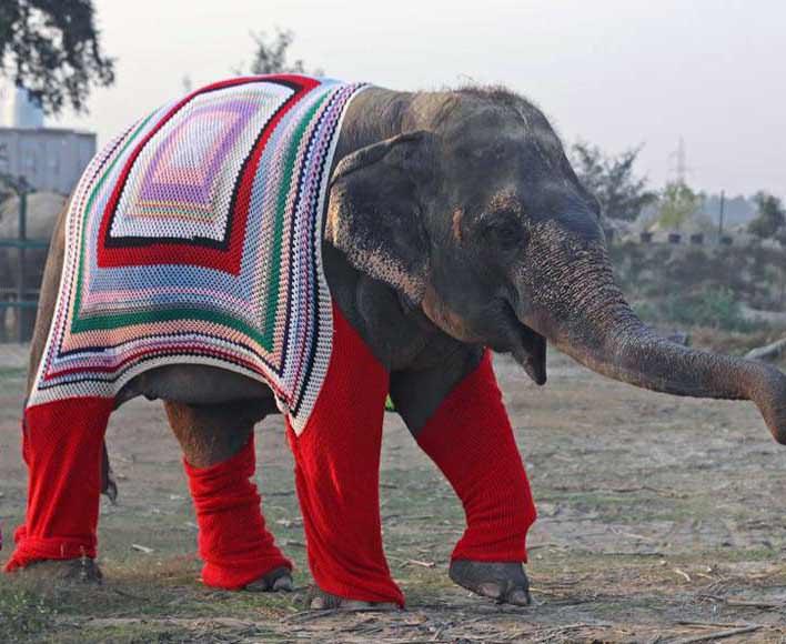 Por el frío, tejen jerseys de punto para elefantes