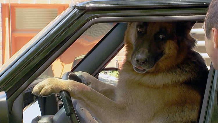 Inteligencia del perro que maneja sin seguro de auto