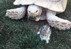 La tortuga que salvo la vida de un conejito
