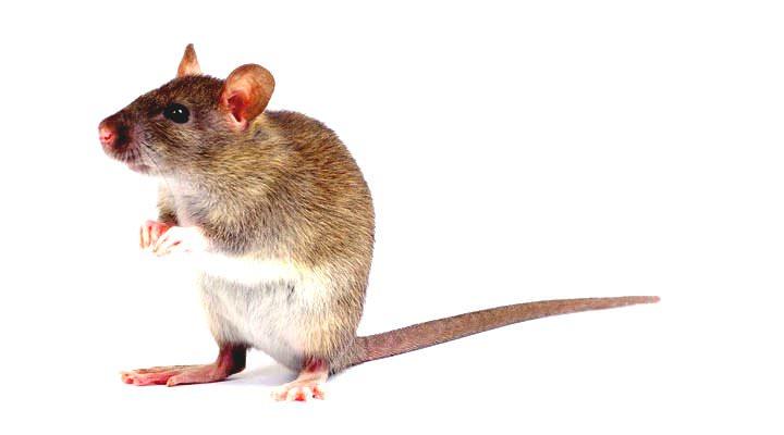 Medicamento transforma ratón en súper ratón