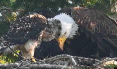 No lo come. Águila Calva adopta un bebé Halcón