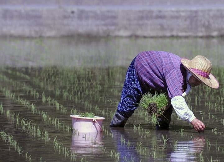 El arroz de Fukushima ya es un alimento seguro