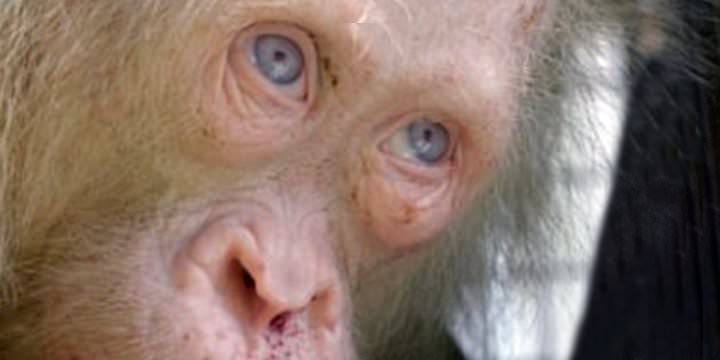 Hallaron raro orangután rubio y de ojos azules