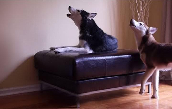 Video chistoso de 2 perros esquimales que hablan