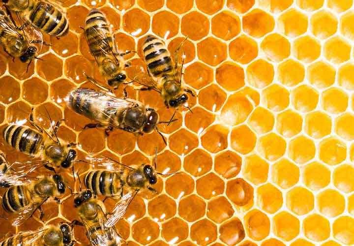 Las colonias de abejas están en aumento