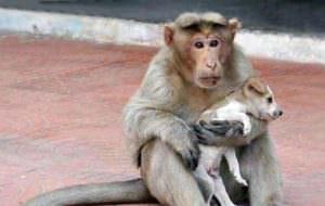 Mono adopta un perrito extraviado y lo defiende