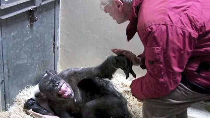 Chimpancé moribundo dice adiós a su amigo