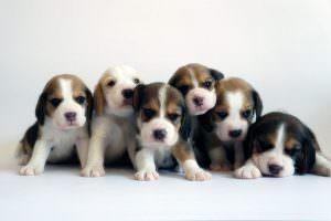 Perritos beagles ¿Qué piensa de estos cachorros bebé?