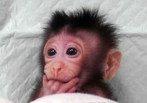 Científicos chinos clonaron monos con la técnica de Dolly